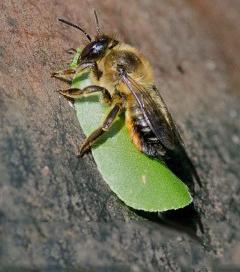 Bee Conga Line