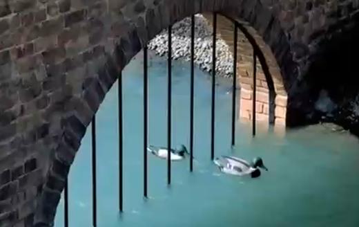 Tui: Ducks