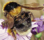 Rescuing the Bumblebee