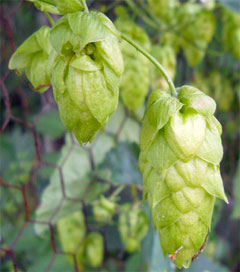 Exotic Hops Lure Americans
