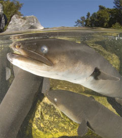 Call to Save the Diminishing Longfin