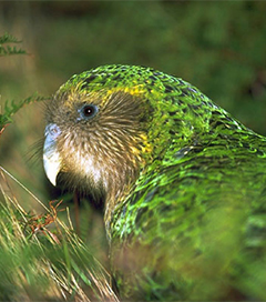 Kakapo in Global Ugly Animal Contest