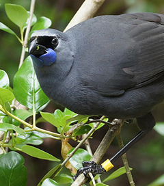 Sneaky Egg Swap Boosts Kokako Population