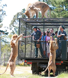 Visitors Get Up Close to Lions at Orana Park