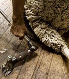 NZ is Beating Australia to the next Wool Bonanza