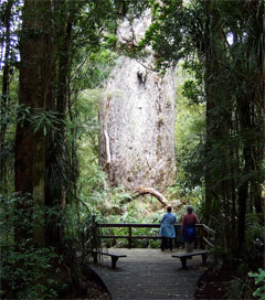 Kauri Forests Charm Canadian Visitor