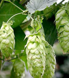 Hops Industry Gaining Strong International Reputation