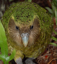 Sirocco Kakapo Creates a Buzz in Japan