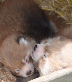 Rare Red Panda Cubs Open Their Eyes to the World