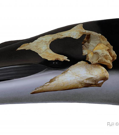 New Zealand Scientists Discover Ancient Toothless Whale