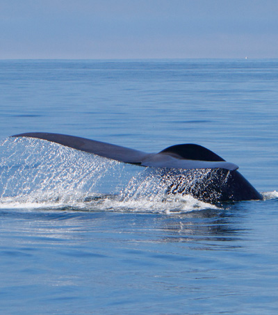 New Zealand Researchers Track Blue Whale Songs off Antarctica