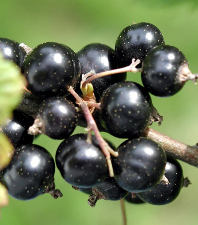 New Zealand Black Currants Boost Brain: Study