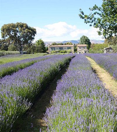 New Zealand's Lavender Farms Inspiration for Novel