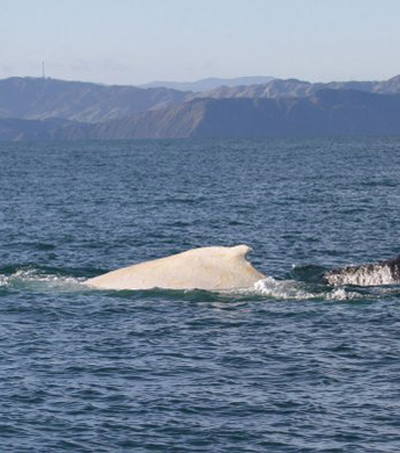 Migaloo Sighted in New Zealand