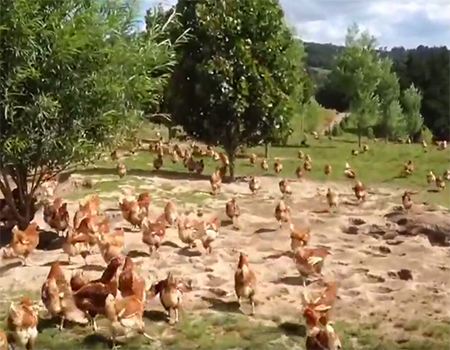 Otaika Valley – Happy Free Range Chickens
