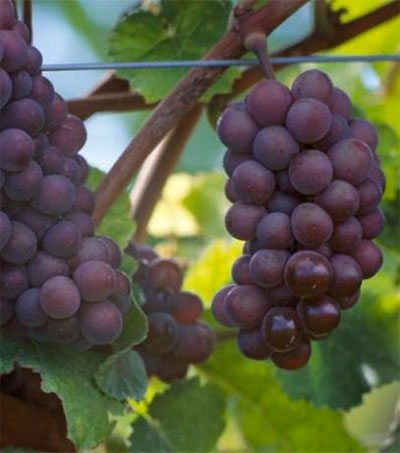 New Zealand Is Mad for Pinot Gris