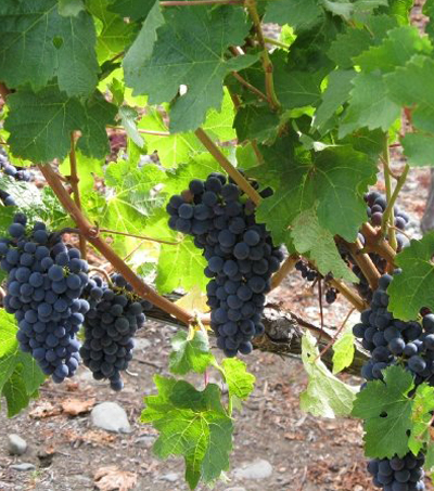 A New Breed of Syrah