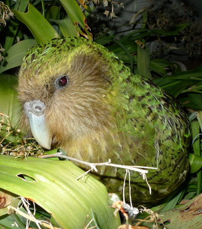 NZ Kakapo's Successful Breeding Season