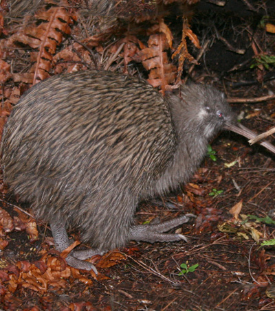How NZ's Glaciers Shaped the Origin of the Kiwi Bird