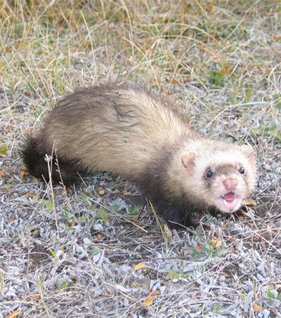 Ferret Smell Could Help Protect Native Birds