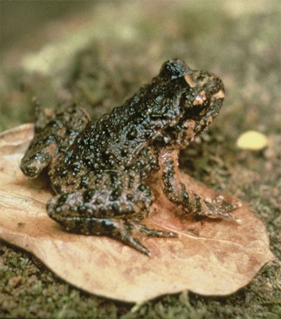 Hockstetter's Frogs Jump for Joy in New Sanctuary