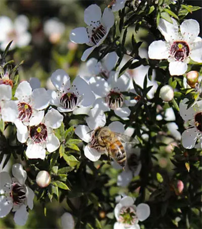 Beekeepers Fight for Rights to Manuka Honey Name