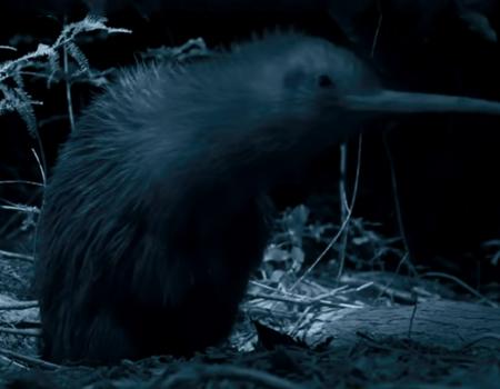The New Zealand Kiwi