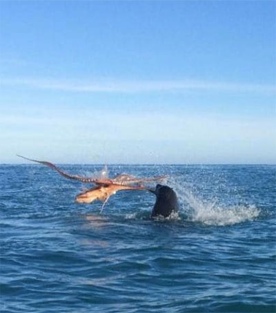 Seal and Octopus Fight Caught on Camera
