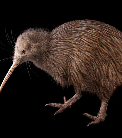 New Zealand's Iconic Kiwi May Be Losing Its Sight