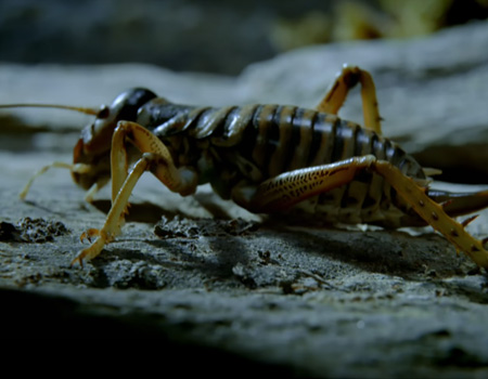 Wild New Zealand – The Mountain Stone Weta