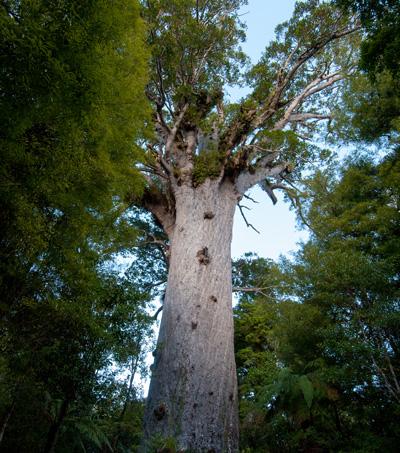 The World's Largest Kauri Tree – Tāne Mahuta