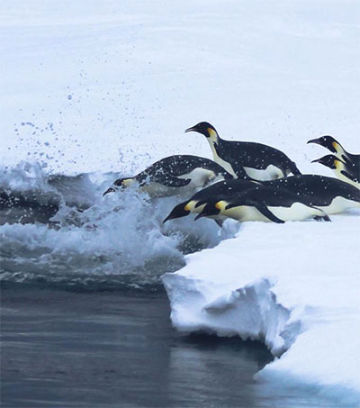 World's Longest Emperor Penguin Dive Recorded