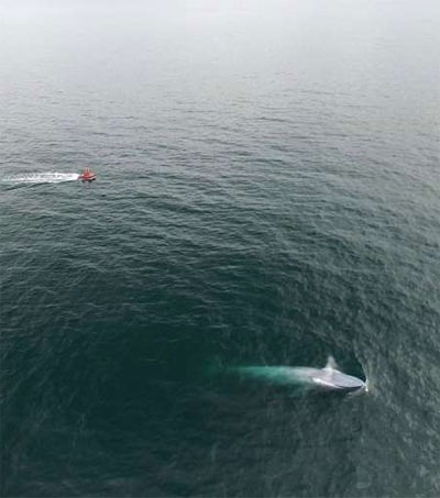 Genetically Distinct Blue Whales Discovered in NZ