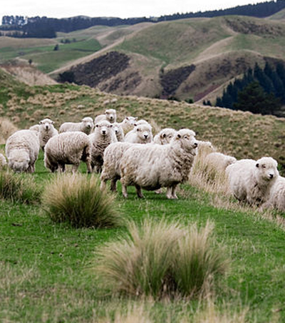 Scientists Are Breeding Low-Emission Sheep