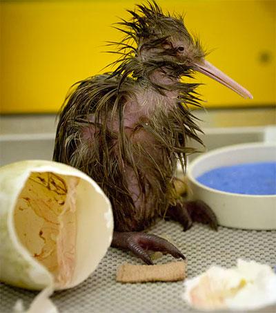 New Zealand Rallies to Save its Iconic Bird