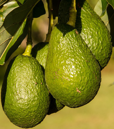 NZ Avocado Shortage Leads to Orchard Crime Wave