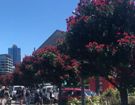 Pōhutukawa – NZ's Christmas Tree