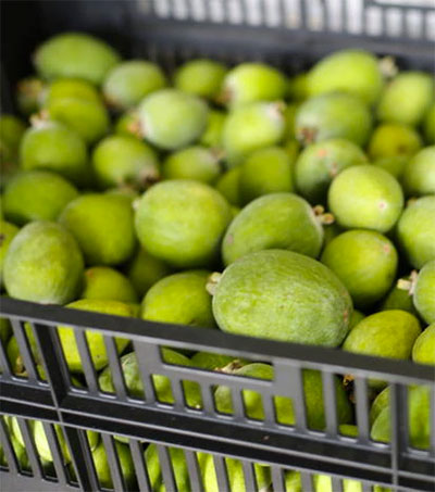 Feijoas Are a National Pastime
