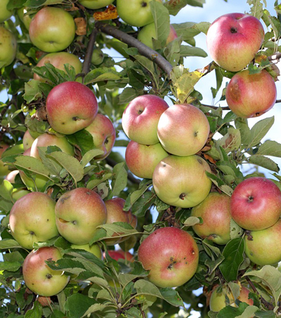 Your Apples May Soon Be Picked By Laser-Shooting Robots