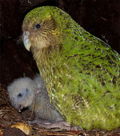 Record-Breaking Breeding Season for the Kākāpō