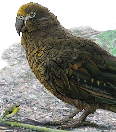 Fossils of Largest Ever Parrot Found in Otago