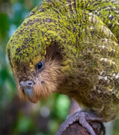 Can Technology Save the Kākāpō?