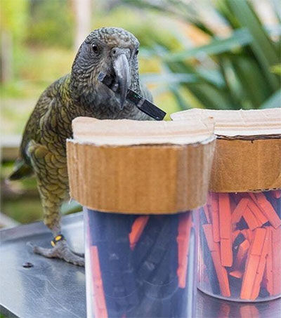 Kea Show Humanlike Ability to Make Predictions