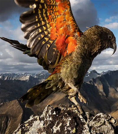 Endangered Kea Image a Shot of the 2000s