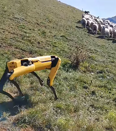 Robotic Spot Put to Work Shepherding Flocks