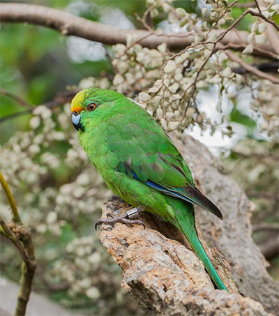 Rare Parakeet Rebounds in New Zealand