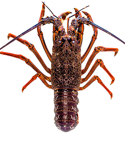 New Zealand Live Lobster Exports to China Surge