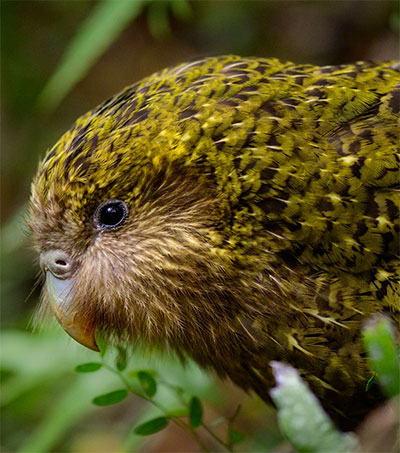 Kākāpō Claims 2020 Bird of the Year Victory