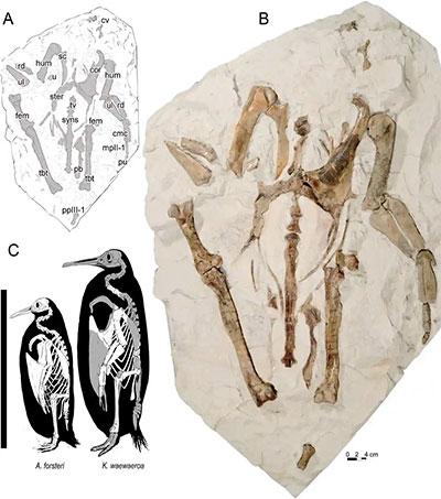 Long-Legged Penguin Fossils Add to Rich Record